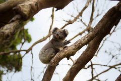 Ours de koala australien de bébé Images libres de droits