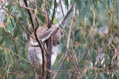 Ours de koala australien de bébé Photo libre de droits
