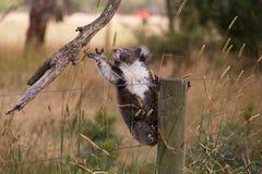 Ours de koala australien de bébé Photos libres de droits