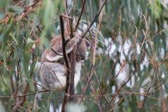 Ours de koala australien de bébé Image libre de droits