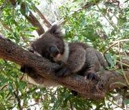 Ours de koala dans l'arbre Image libre de droits