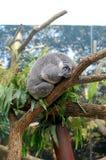 Ours de koala de sommeil Photographie stock