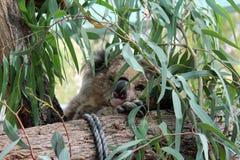 Ours de koala dormant sur un arbre d'eucalyptus Images libres de droits