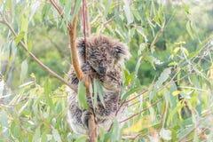 Ours de koala humide dormant dans un arbre Image stock