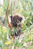Ours de koala humide dormant dans un arbre Photos libres de droits