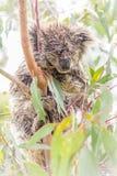 Ours de koala humide dormant dans un arbre Photos stock