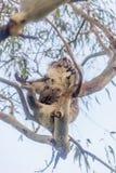 Ours de koala se reposant dans l'arbre Photographie stock