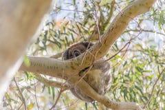 Ours de koala se reposant dans l'arbre Photographie stock libre de droits