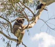 Ours de koala se reposant dans l'arbre Photo libre de droits