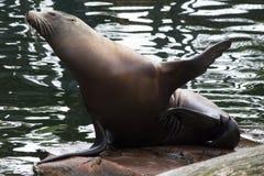 Ours de mer Photographie stock libre de droits