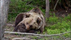 Ours de Mouther avec deux petits animaux d'ours banque de vidéos