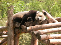 Ours de panda Photographie stock libre de droits