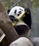 Ours de panda chinois dans l'arbre mangeant le bambou, porcelaine Photographie stock