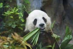 Ours de panda géant Photos stock