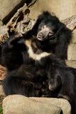 Ours de paresse Photographie stock libre de droits