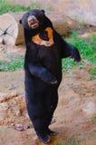 Ours debout de Sun de Malaysian photographie stock libre de droits