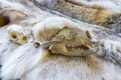 Ours et crâne de Lynx Photos libres de droits