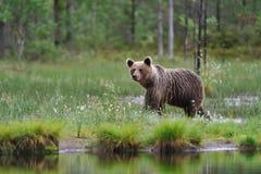 Ours et eau de Brown photographie stock libre de droits