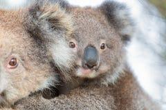 Ours et maman de koala de bébé d'Australie Photo stock