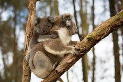 Ours et maman de koala de bébé d'Australie Image stock