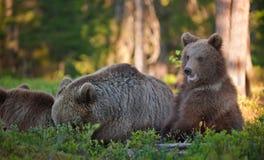 -ours et ours-petits animaux Ours de Brown Arctos d'Ursus Images libres de droits