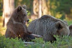 -ours et ours-petits animaux Ours de Brown Arctos d'Ursus Image stock
