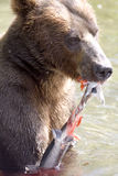 Ours et saumons Images libres de droits