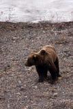 Ours gris au printemps, II Photographie stock