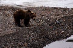 Ours gris au printemps, V Images libres de droits
