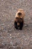 Ours gris au printemps, VI Photo libre de droits