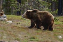 Ours gris, bosse, nez de pelle Photo libre de droits