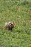 Ours gris Cub dans le pré Images libres de droits