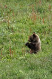 Ours gris Cub de Snacking Photos libres de droits