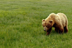 Ours gris d'Alaska Photographie stock