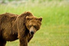 Ours gris d'Alaska Images stock