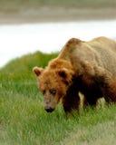 Ours gris d'Alaska Photo libre de droits