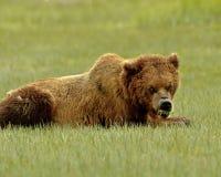 Ours gris d'Alaska grognant Photos libres de droits