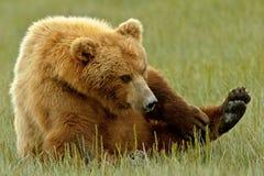 Ours gris d'Alaska rayant un démangeaison Image libre de droits