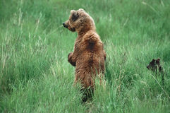ours gris d'ours Photographie stock libre de droits