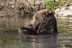 Ours gris dans l'eau Photos stock