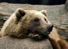 Ours gris dans le zoo Photographie stock libre de droits