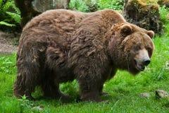 Ours gris de continent (horribilis d'arctos d'Ursus) photo libre de droits