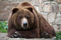Ours gris de continent (horribilis d'arctos d'Ursus) images libres de droits