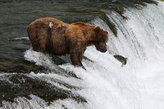 Ours gris de pêche image stock