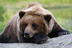 Ours gris de sommeil Photo libre de droits