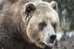 Ours gris féminin avec la langue collant  Photographie stock