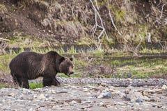 Ours gris le long de rivière images libres de droits