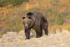 Ours gris marchant au lever de soleil Images libres de droits