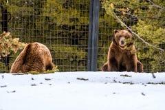 Ours gris pendant l'hiver avec le froid de jeu de styleeat de la vie de neige Image stock