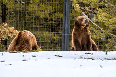 Ours gris pendant l'hiver avec le froid de jeu de styleeat de la vie de neige Image libre de droits